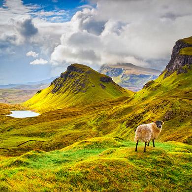 Curious Sheep © Chris Morrison