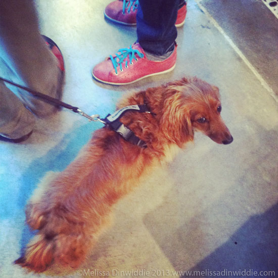 Wiener dog with red shoes